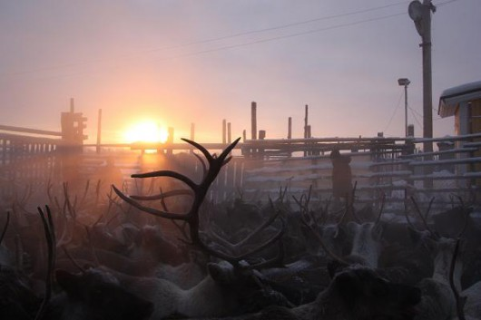 RUSSIA-ARCTIC-CLIMATE-WARMING-ANIMALS-REINDEER