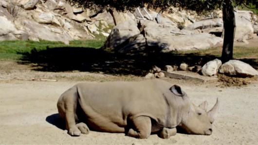 Zmarł jeden z ostatnich białych nosorożców