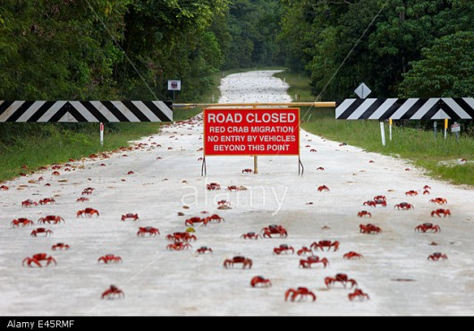 Christmas Island Red Crabs (Gecarcoidea natalis) crossing closed road, during annual migration, Christmas Island, November 2009.