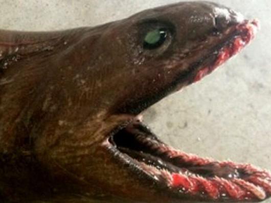 Niezwykle rzadki, prymitywny gatunek rekina 3