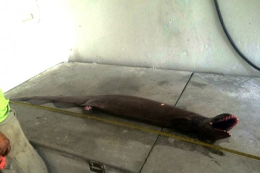 Niezwykle rzadki, prymitywny gatunek rekina 4