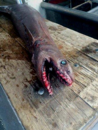 Niezwykle rzadki, prymitywny gatunek rekina