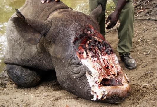 RPA - W 2014 roku zabito rekordowo dużo nosorożców, szacuje się, że zginęło co najmniej 1200 osobników 1