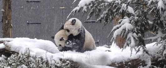 Image: Sixteen-month-old Giant panda cub Bao Bao plays in the snow with her mother Mei Xiang at the Smithsonian's National Zoo in Washington