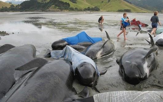 Nowa Zelandia - Morze wyrzuciło na brzeg Wyspy Południowej 198 waleni 1