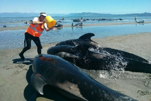 Nowa Zelandia - Morze wyrzuciło na brzeg Wyspy Południowej 198 waleni 2