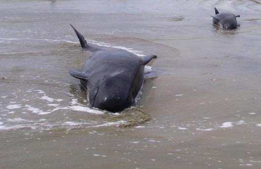 Nowa Zelandia - Morze wyrzuciło na brzeg Wyspy Południowej 198 waleni 3