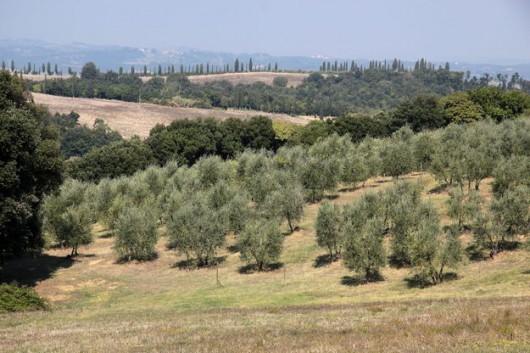 Gaje oliwne - Włochy
