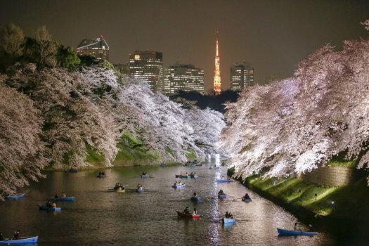 Japonia - Kwitną wiśnie 1