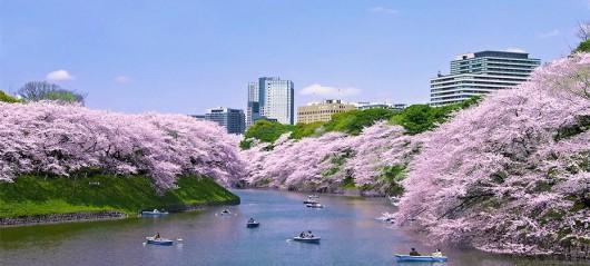 Japonia - Kwitną wiśnie 3