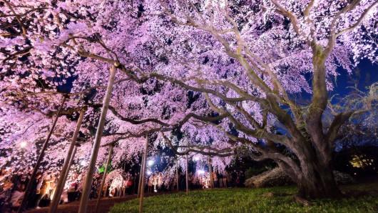 Japonia - Kwitną wiśnie 5