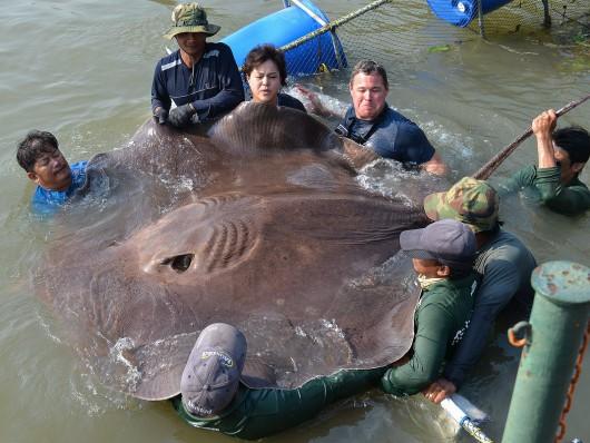 Tajlandia - Wyłowiono największą w historii słodkowodną rybę