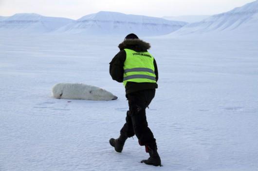 Zatrzelony niedźwiedź, który zaatakował czeskiego turystę /Svalbard police /PAP/EPA