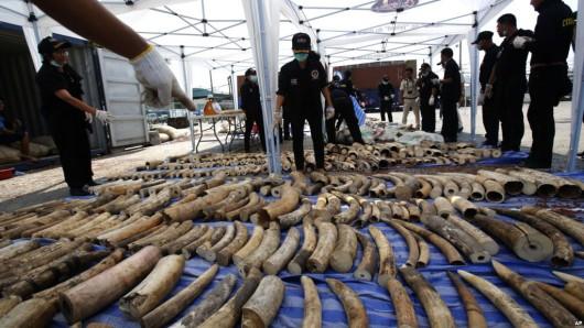 Bangkok, Tajlandia - Przechwycono 4 tony kości słoniowej, 739 kłów o wartości 6 mln dolarów 2
