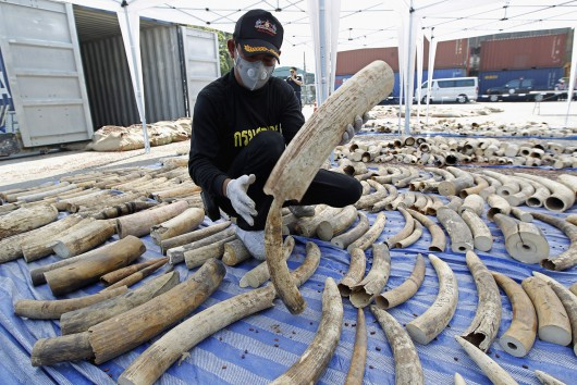 Thai Customs arrest four thousands kilograms of 739 smuggling elephant ivory tusks from Congo