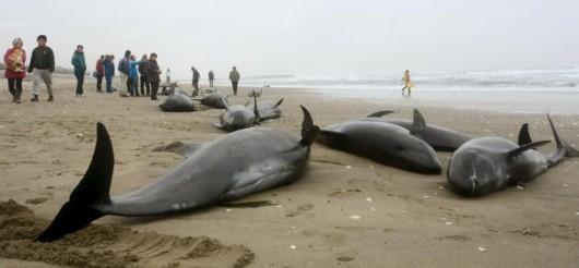Hokota, Japonia - 150 delfinów grubogłowych morze na brzeg wyrzuciło 2