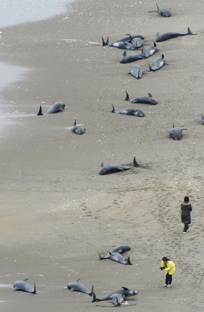 Hokota, Japonia - 150 delfinów grubogłowych morze na brzeg wyrzuciło 3