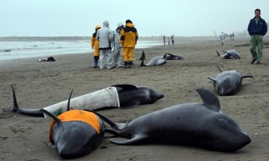 Hokota, Japonia - 150 delfinów grubogłowych morze na brzeg wyrzuciło 4