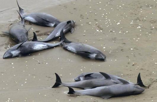 Hokota, Japonia - 150 delfinów grubogłowych morze na brzeg wyrzuciło