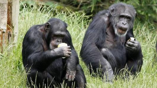 Szympansy Herkules i Leo