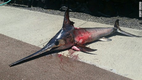 Hawaje, USA - Miecznik walczył z rybakiem, który zaatakował rybę nożem 1