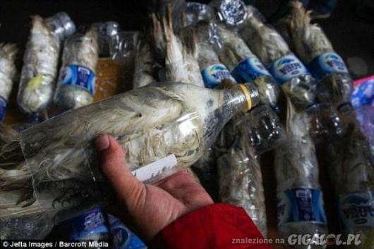 Indonezja - Przemyt papug Kakadu w butelkach 4