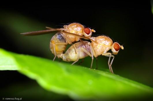 Prokreacja u owadów
