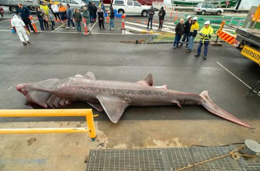Australia - Wyłowiono rzadko spotykanego 6.5 metrowego żarłacza olbrzymiego 3