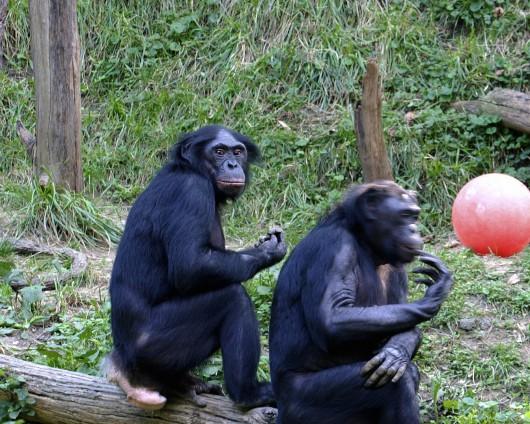 Zgodnie z prawem amerykański dzikie szympansy zostaną tak samo poddane ochronie, jak te w niewoli.