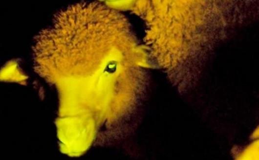 Fluorescencyjna owca