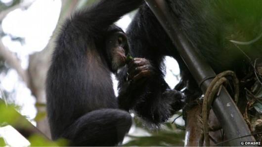 Przeżute liście służą do efektywniejszego nabierania wina palmowego.