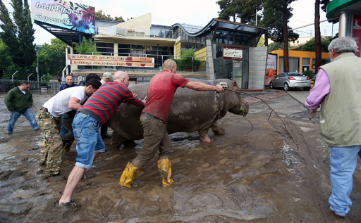 Local residents push a hippopotamus along a flooded street in Tbilisi on June 14, 2015. Tigers, lions, jaguars, bears and wolves escaped on June 14 from flooded zoo enclosures in the Georgian capital Tbilisi, the mayor's office said. Some of the animals were captured by police while others were shot dead, the mayor's office told local Rustavi 2 television. At least eight people have drowned and several others are missing in the Georgian capital Tbilisi in serious flooding. AFP PHOTO / BESO GULASHVILI
