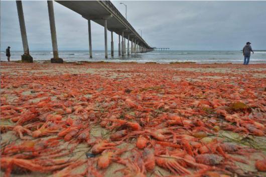 USA - W Kalifornii plaże pełne martwych krabów 1