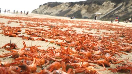 USA - W Kalifornii plaże pełne martwych krabów 2