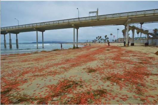 USA - W Kalifornii plaże pełne martwych krabów 3