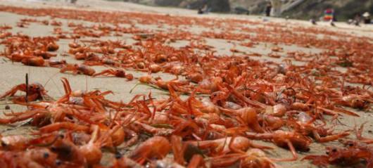 USA - W Kalifornii plaże pełne martwych krabów 4