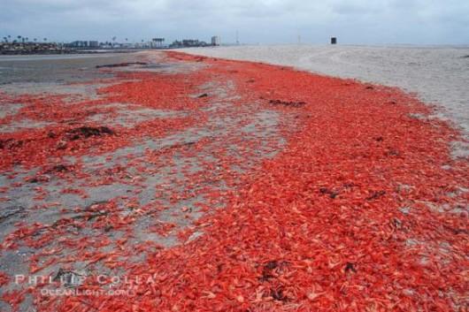 USA - W Kalifornii plaże pełne martwych krabów 6
