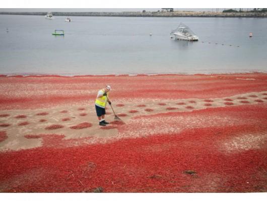 USA - W Kalifornii plaże pełne martwych krabów 8