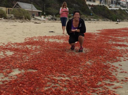 USA - W Kalifornii plaże pełne martwych krabów 9