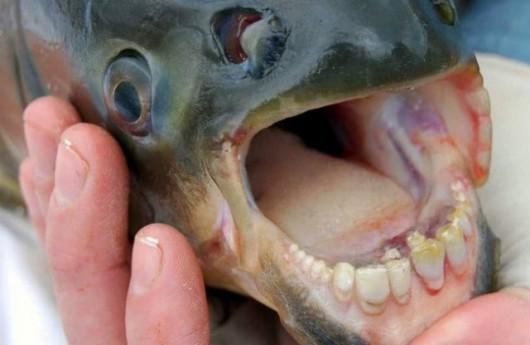 USA - W jeziorze w New Jersey złowiono rybę z zębami przypominającymi ludzkie 2