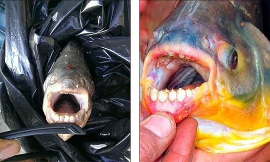 USA - W jeziorze w New Jersey złowiono rybę z zębami przypominającymi ludzkie 3