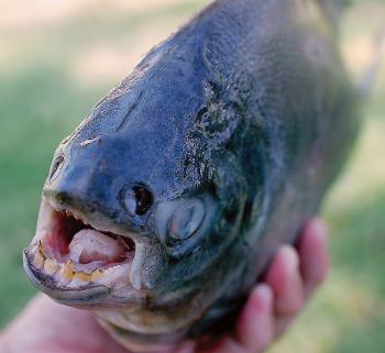USA - W jeziorze w New Jersey złowiono rybę z zębami przypominającymi ludzkie 4