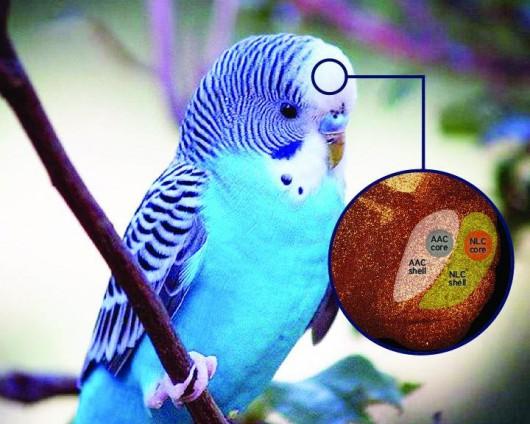 W mózgach papug odkryto struktury, które prawdopodobnie odpowiadają za zdolności naśladowania dźwięków i mowę
