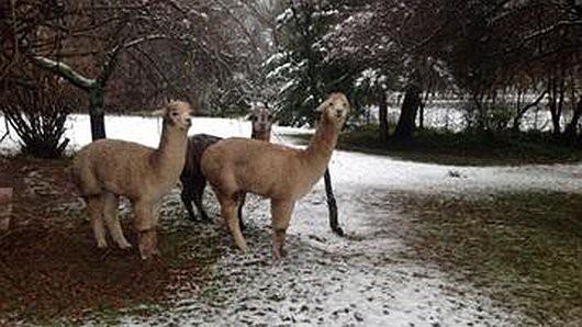 Śnieg sypie w Australii -1