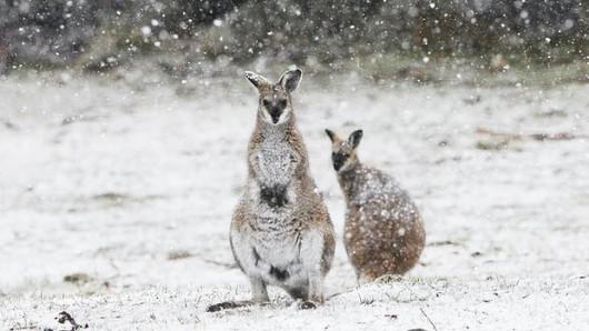 Śnieg sypie w Australii