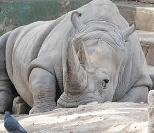 Czechy - Zdechł jeden z pięciu ostatnich nosorożców białych północnych, jakie chodzą po ziemi