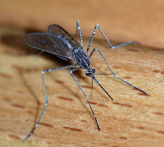 Komar mutant