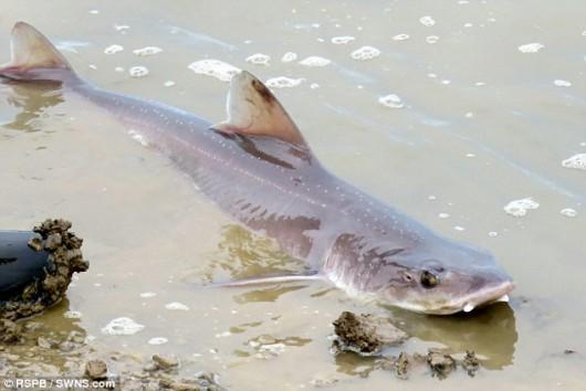 Selsey, UK - Ogromna ilość małych rekinów na południowym wschodzie Anglii -2