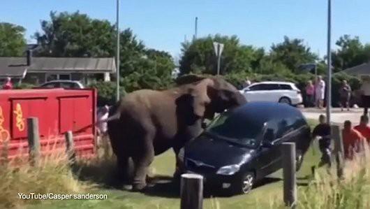 Själland, Dania - Słoń przestawił auto, żeby wyczyścić drogę dla biegnących z kąpieli morskiej słoni