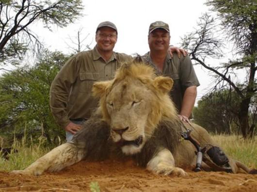 Walter Palmer (z prawej) z upolowanym lwem